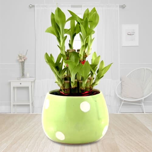 Vibrant Gift of 2 Tier Good Luck Bamboo Plant in Ceramic Pot